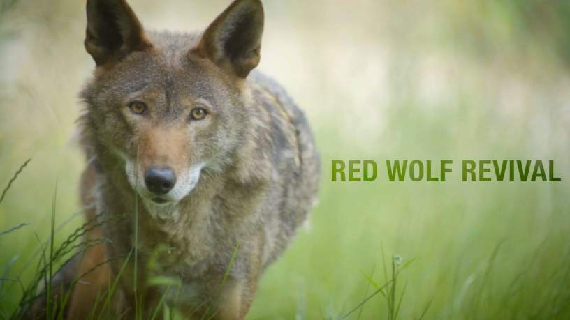 red-wolf-revival